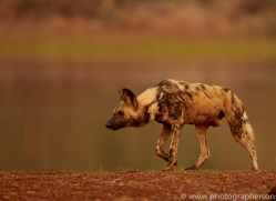 Wild-Dogs-copyright-photographers-on-safari-com-6528