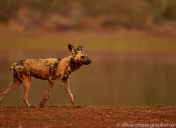 Wild-Dogs-copyright-photographers-on-safari-com-6529