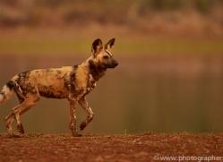 Wild-Dogs-copyright-photographers-on-safari-com-6531