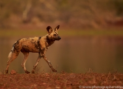 Wild-Dogs-copyright-photographers-on-safari-com-6532