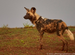 Wild-Dogs-copyright-photographers-on-safari-com-6533