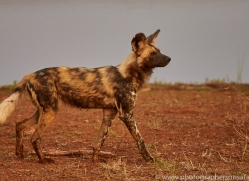 Wild-Dogs-copyright-photographers-on-safari-com-6534