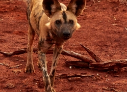 Wild-Dogs-copyright-photographers-on-safari-com-6536