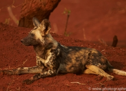 Wild-Dogs-copyright-photographers-on-safari-com-6538