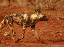Wild-Dogs-copyright-photographers-on-safari-com-6539
