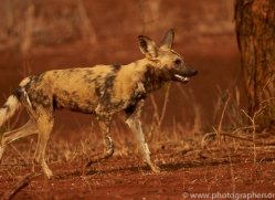 Wild-Dogs-copyright-photographers-on-safari-com-6540