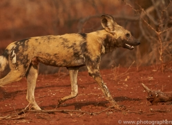 Wild-Dogs-copyright-photographers-on-safari-com-6541