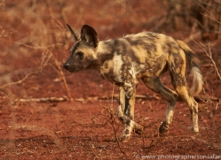 Wild-Dogs-copyright-photographers-on-safari-com-6542