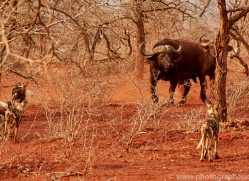 Wild-Dogs-copyright-photographers-on-safari-com-6543