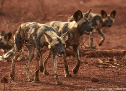 Wild-Dogs-copyright-photographers-on-safari-com-6544