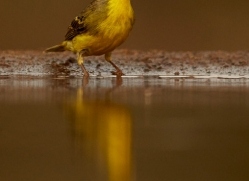 Yellow-Breasted-Canary-copyright-photographers-on-safari-com-6548