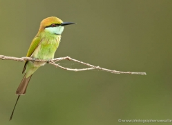 bee-eater-sri-lanka-2879-copyright-photographers-on-safari-com