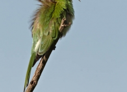 bee-eater-sri-lanka-2883-copyright-photographers-on-safari-com