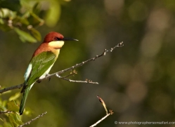 bee-eater-sri-lanka-2884-copyright-photographers-on-safari-com