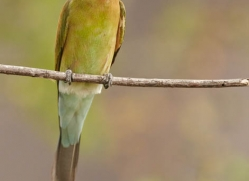 bee-eater-sri-lanka-2885-copyright-photographers-on-safari-com