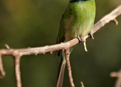 bee-eater-sri-lanka-2886-copyright-photographers-on-safari-com