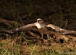changeable-hawk-eagle-juvenile-sri-lanka-2930-copyright-photographers-on-safari-com