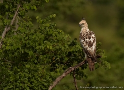 changeable-hawk-eagle-sri-lanka-2928-copyright-photographers-on-safari-com
