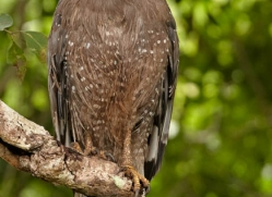 crested-serpent-eagle-juvenile-sri-lanka-2932-copyright-photographers-on-safari-com