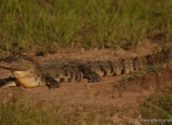 crocodile-sri-lanka-2924-copyright-photographers-on-safari-com