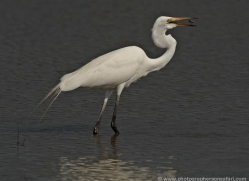 giant-egret-chital-sri-lanka-2926-copyright-photographers-on-safari-com
