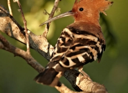 hoopoe-sri-lanka-2907-copyright-photographers-on-safari-com