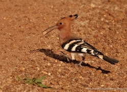 hoopoe-sri-lanka-2908-copyright-photographers-on-safari-com