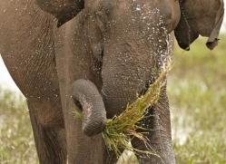 indian-elephant-sri-lanka-2944-copyright-photographers-on-safari-com