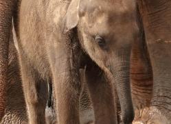 indian-elephant-sri-lanka-2953-copyright-photographers-on-safari-com