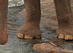 indian-elephant-sri-lanka-2957-copyright-photographers-on-safari-com