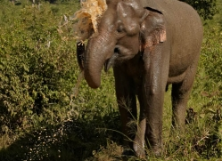 indian-elephant-sri-lanka-2966-copyright-photographers-on-safari-com