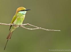 bee-eater-sri-lanka-2879-copyright-photographers-on-safari-com