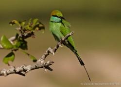bee-eater-sri-lanka-2880-copyright-photographers-on-safari-com