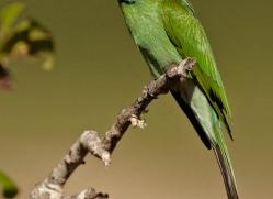 bee-eater-sri-lanka-2882-copyright-photographers-on-safari-com