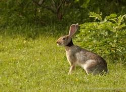 black-naped-hare-sri-lanka-2856-copyright-photographers-on-safari-com
