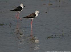 black-winged-stilt-sri-lanka-2923-copyright-photographers-on-safari-com