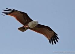 brahminy-kite-sri-lanka-2893-copyright-photographers-on-safari-com