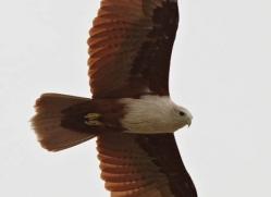 brahminy-kite-sri-lanka-2894-copyright-photographers-on-safari-com