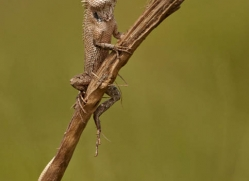 chameleon-sri-lanka-2933-copyright-photographers-on-safari-com