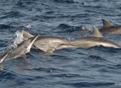 dolphin-sri-lanka-2904-copyright-photographers-on-safari-com
