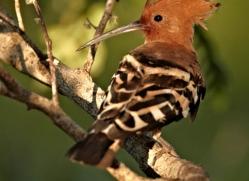 hoopoe-sri-lanka-2907-copyright-photographers-on-safari-com