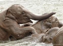 indian-elephant-sri-lanka-2945-copyright-photographers-on-safari-com