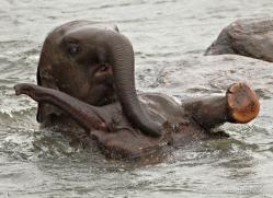 indian-elephant-sri-lanka-2949-copyright-photographers-on-safari-com