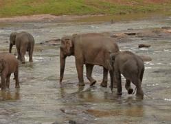 indian-elephant-sri-lanka-2962-copyright-photographers-on-safari-com