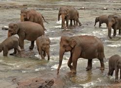 indian-elephant-sri-lanka-2963-copyright-photographers-on-safari-com