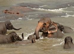 indian-elephant-sri-lanka-2964-copyright-photographers-on-safari-com