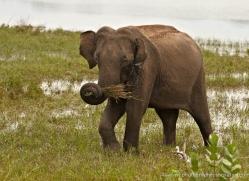 indian-elephant-sri-lanka-2969-copyright-photographers-on-safari-com
