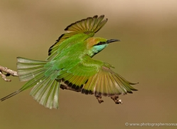 bee-eater-sri-lanka-2881-copyright-photographers-on-safari-com