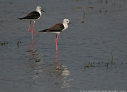 black-winged-stilt-sri-lanka-2923-copyright-photographers-on-safari-com