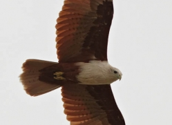 brahminy-kite-sri-lanka-2894-copyright-photographers-on-safari-com